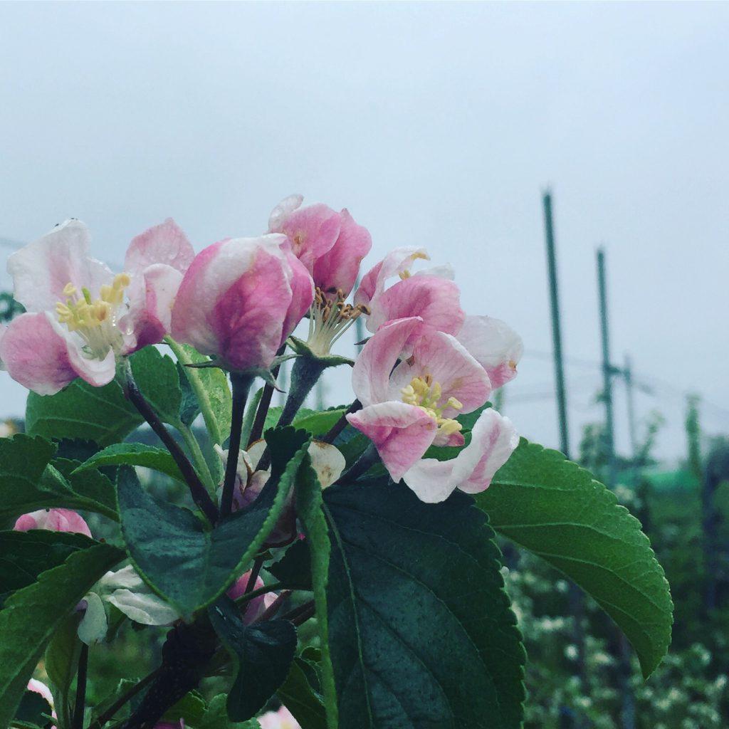 希望のりんごの花